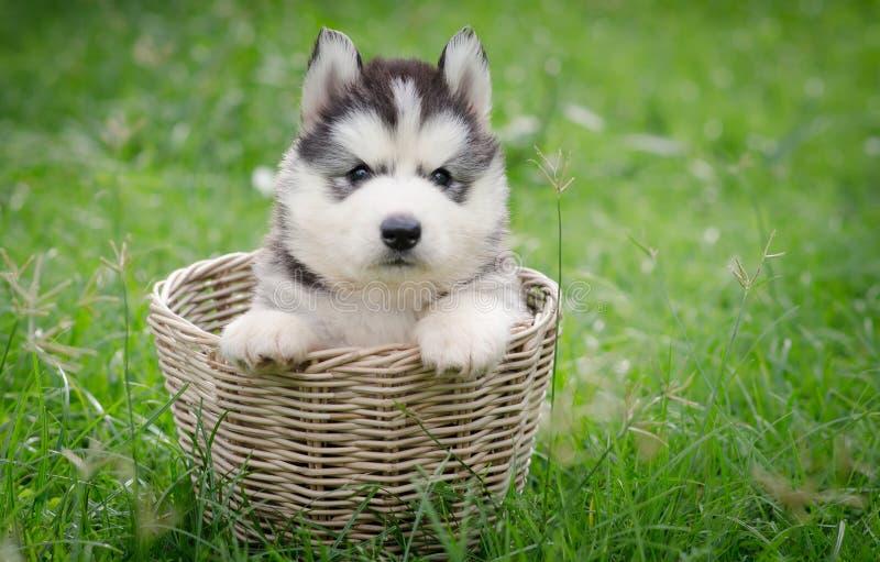 在篮子的逗人喜爱的西伯利亚爱斯基摩人小狗 图库摄影
