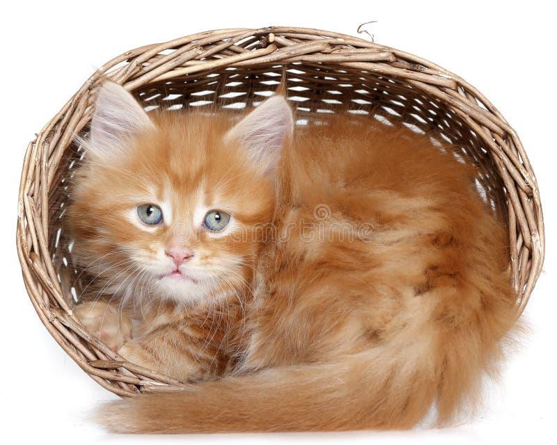 在篮子的Mainecoon小猫 库存照片