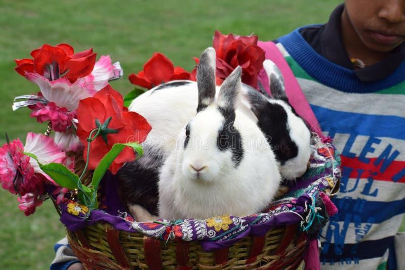 在篮子达尔霍乌西耶山的印度兔子 库存照片