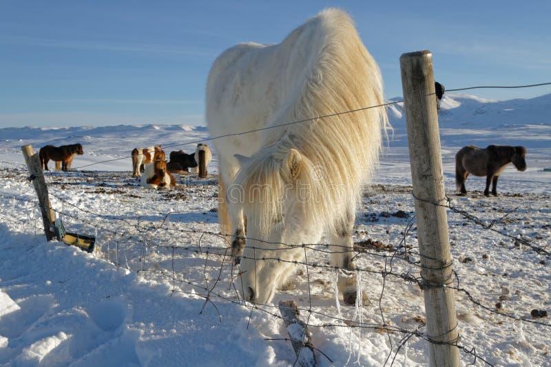 在篱芭后的冰岛马 免版税库存图片