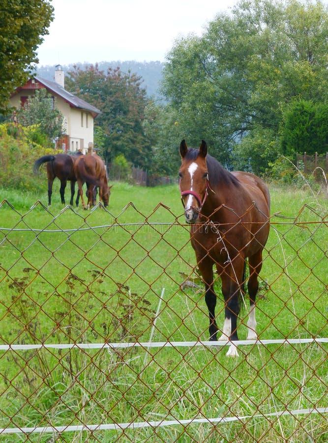 在篱芭后的几匹棕色马 免版税图库摄影