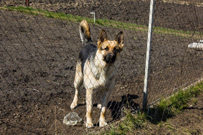在篱芭后的德国牧羊犬 库存图片