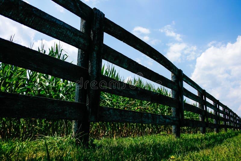 在篱芭后的玉米田 库存照片