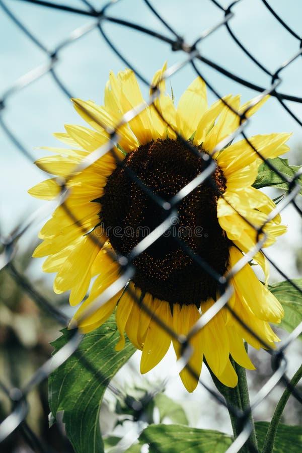在篱芭后的美丽的向日葵 免版税库存图片