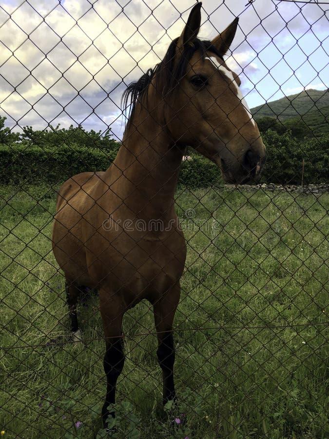 在篱芭后的马 库存照片