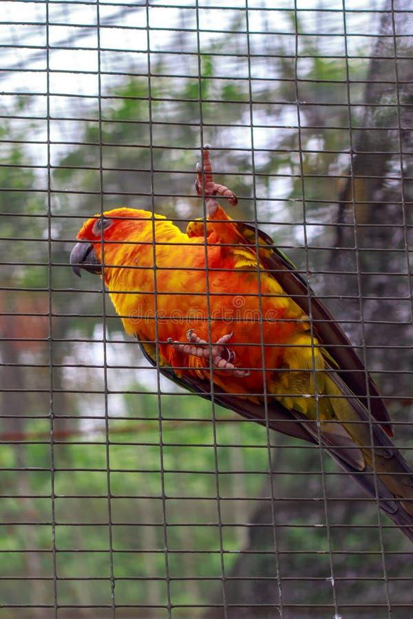 在篱芭后的鹦鹉 库存图片