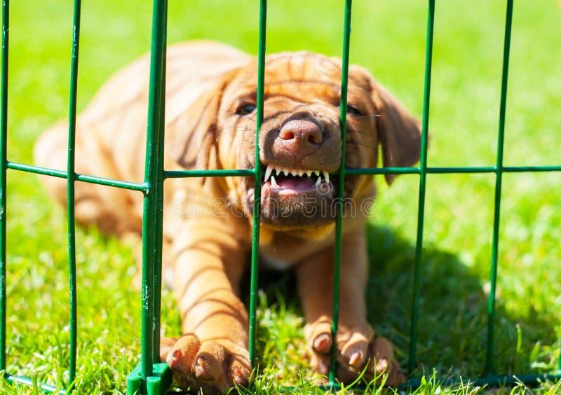 在篱芭后的Rhodesian Ridgeback小狗 库存图片