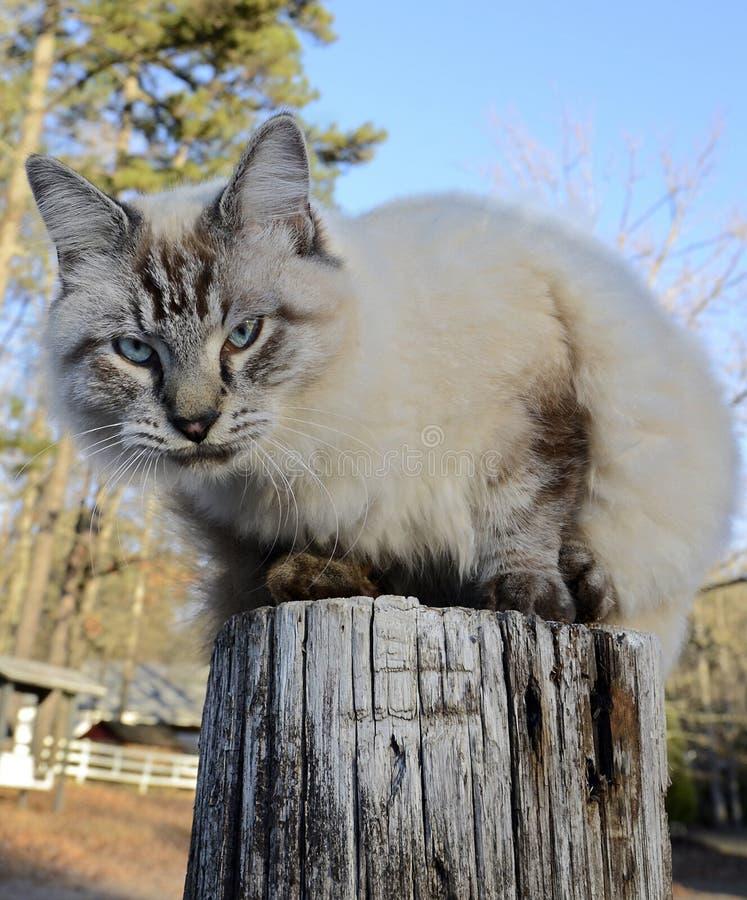 在篱芭岗位的蓝眼睛的猫 免版税图库摄影