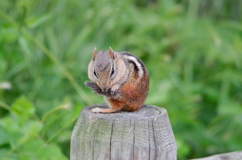 在篱芭岗位2的花栗鼠 库存图片