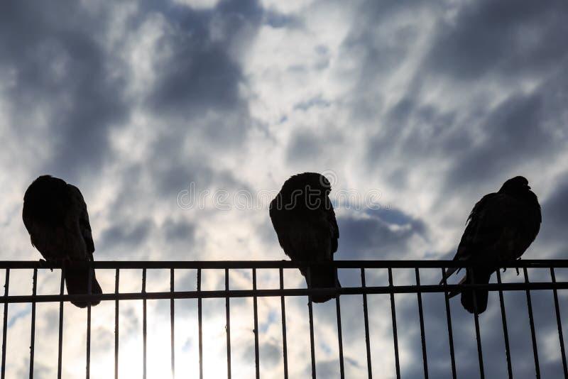 在篱芭栖息的鸽子 免版税图库摄影