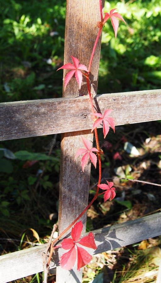 在篱芭的一棵红色常春藤 免版税图库摄影