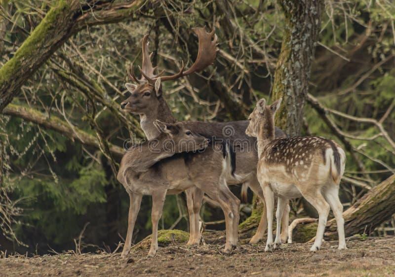 在篱芭的小鹿有在Krusne山的树的在春日 免版税库存照片
