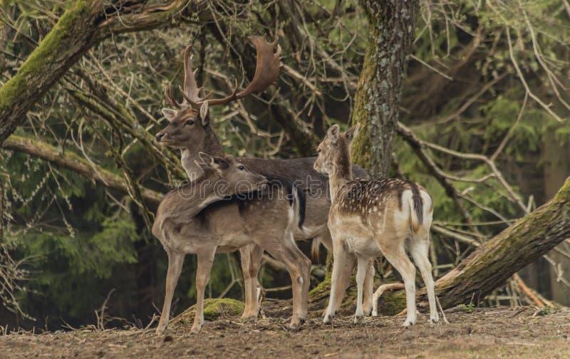 在篱芭的小鹿有在Krusne山的树的在春日 免版税库存图片