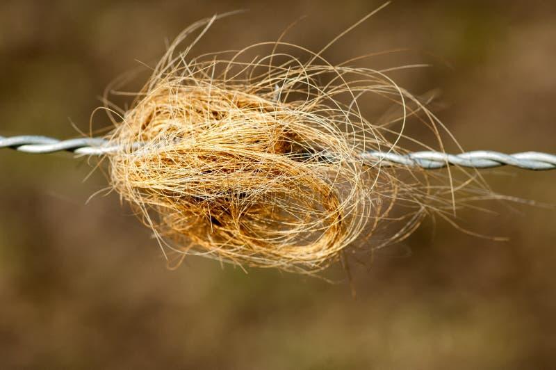 在篱芭的牛头发 免版税库存图片