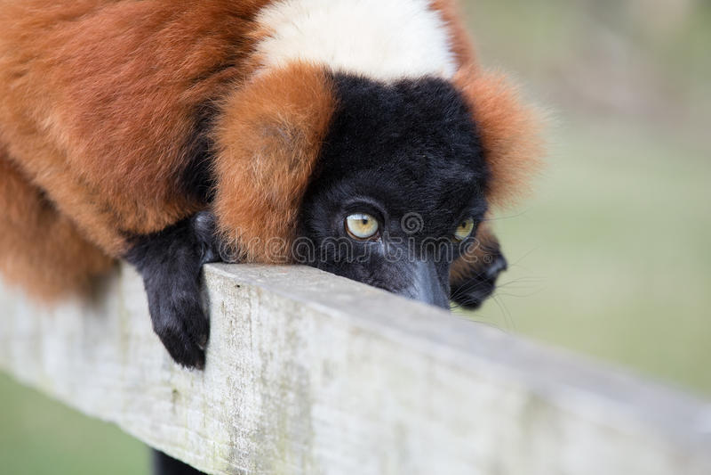 在篱芭的狐猴 免版税库存照片