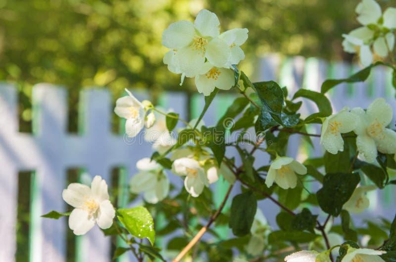 在篱芭的背景的开花的茉莉花灌木 免版税库存图片