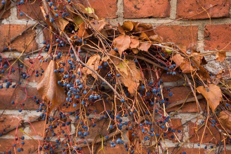 在篱芭的莓果 库存照片