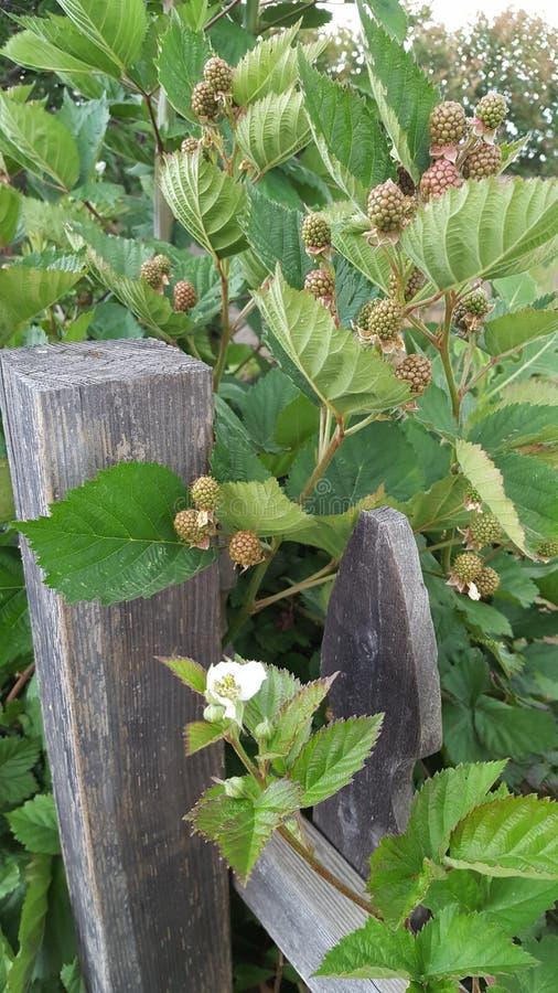 在篱芭的莓 免版税库存照片