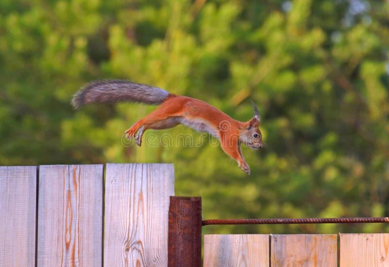 在篱芭的跳跃的灰鼠 库存照片