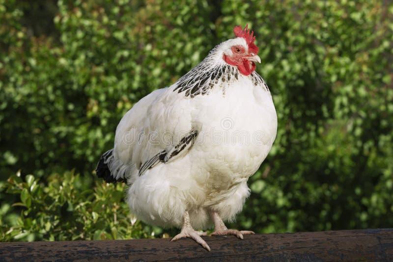 在篱芭的鸡 免版税库存照片
