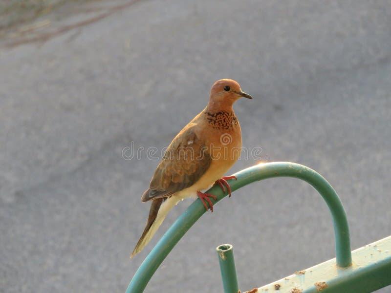 在篱芭的鸽子 库存照片