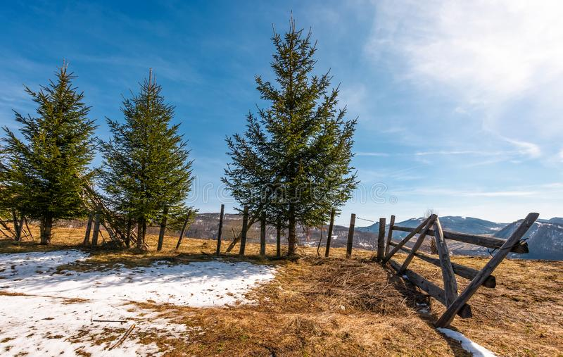 在篱芭附近的云杉的树在山坡 免版税库存照片