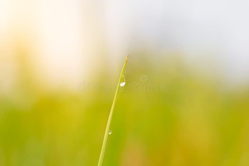 在米叶子的上面的露水在自然绿色背景中 免版税库存图片