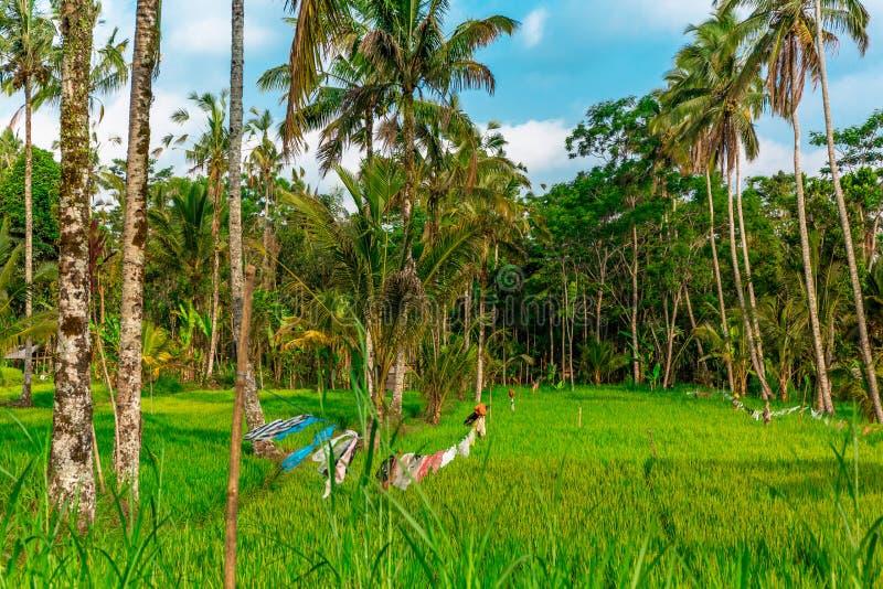 在米庄稼中的晒衣绳在Tegallalang米大阳台在Ubud,巴厘岛,印度尼西亚 库存图片