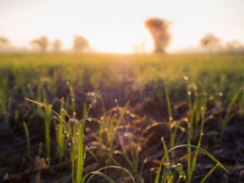 在米栖息的露滴 图库摄影