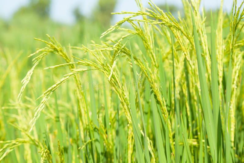 在米领域的米 免版税库存照片
