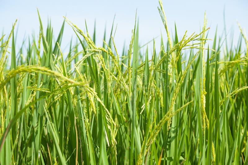在米领域的米 库存图片