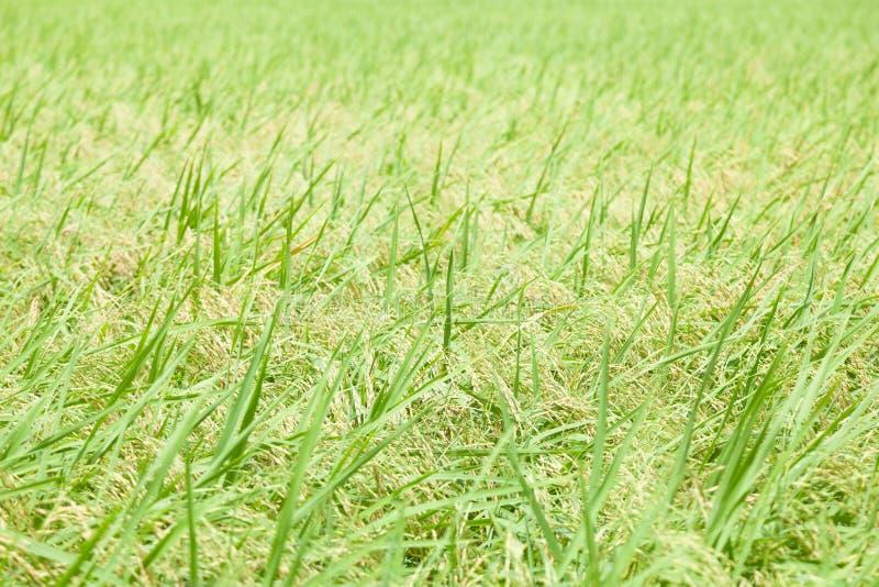 在米领域的米 库存照片