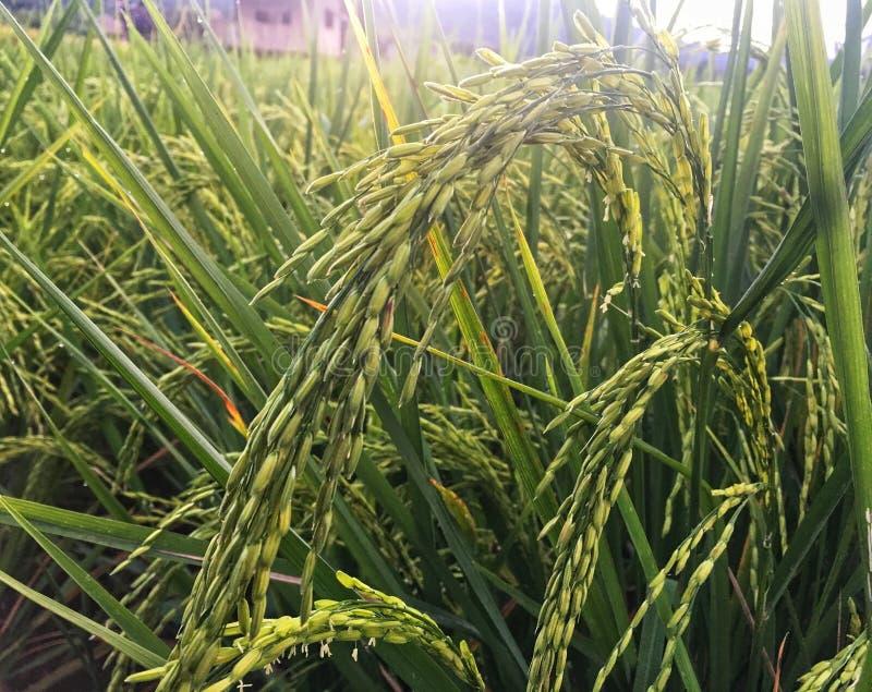 在米领域的绿色稻与日落照明设备  图库摄影
