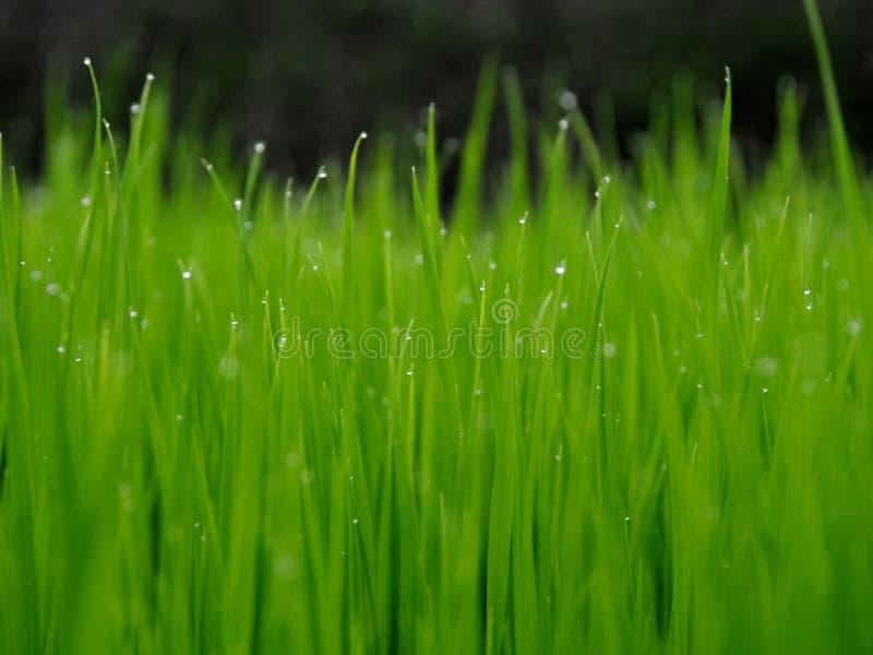 在米领域的年轻米在多雨巴厘岛 库存照片