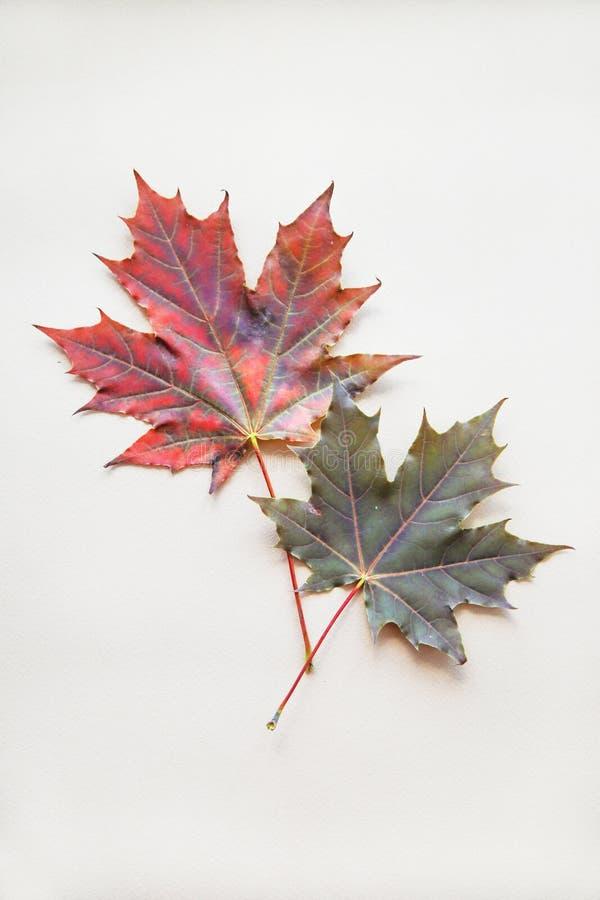 在米黄背景的两枫叶 秋天时尚概念 库存照片