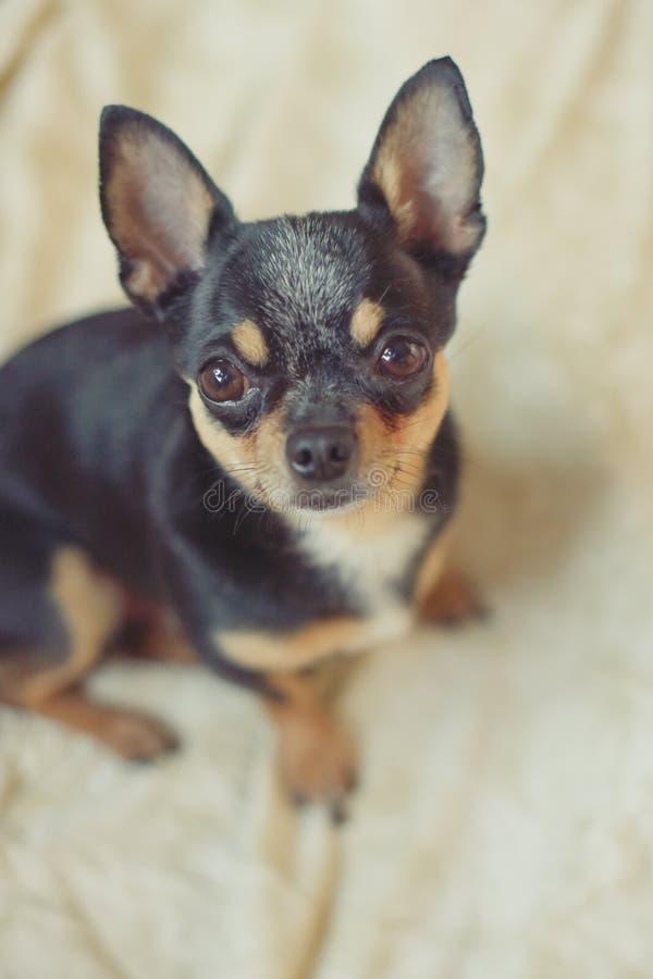 在米黄背景的小逗人喜爱的奇瓦瓦狗狗 黑和棕色和白色宠物 库存照片