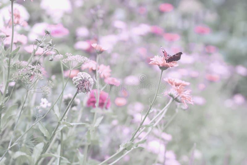 在粉红彩笔紫色颜色的柔和的自然花卉背景与软的焦点 有花的美丽的夏天草甸 库存照片