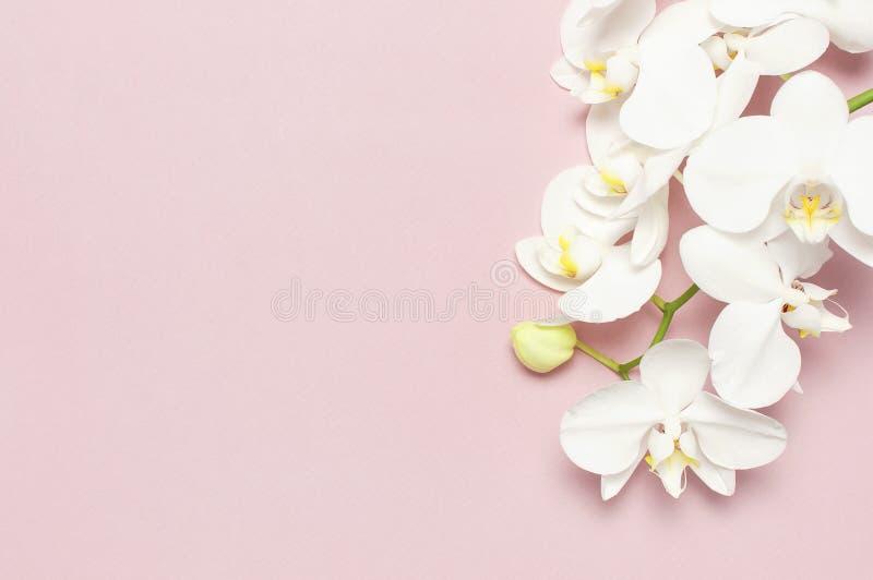 在粉红彩笔背景顶视图平的位置的美丽的白色兰花植物兰花花 E 图库摄影