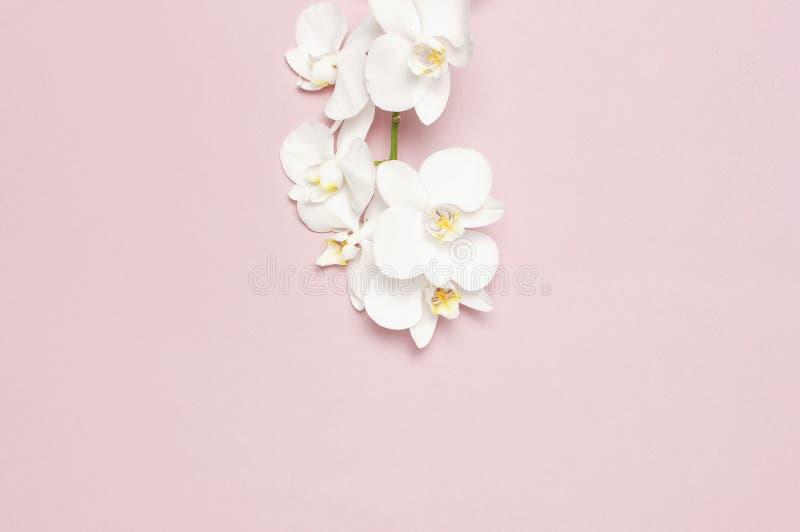 在粉红彩笔背景顶视图平的位置的美丽的白色兰花植物兰花花 E 库存图片