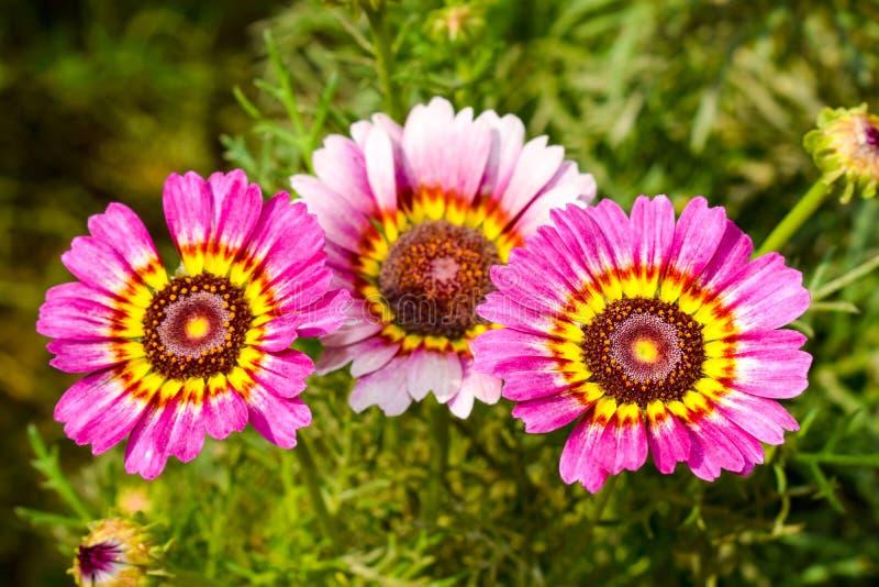 在粉色的雏菊花 免版税库存图片