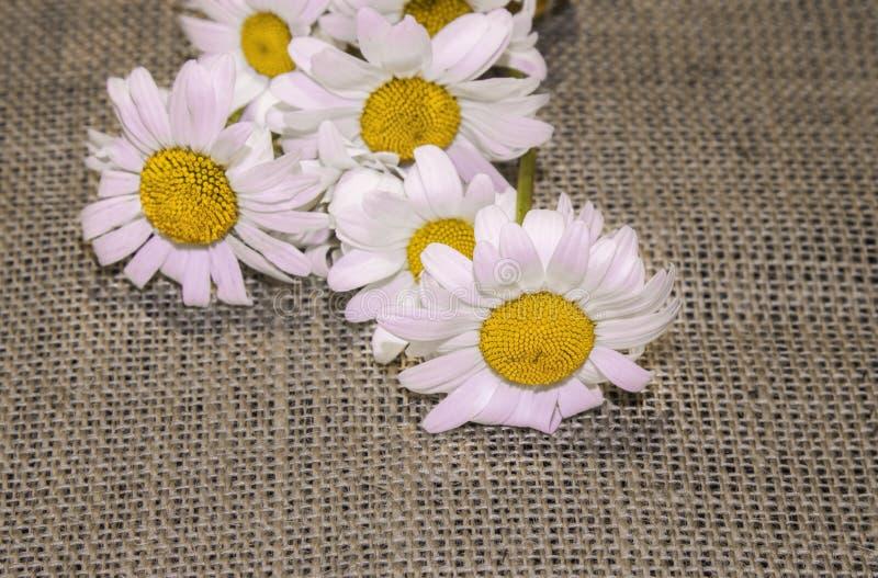 在粗糙的布料,粗麻布的春黄菊花 贺卡的背景 免版税库存照片