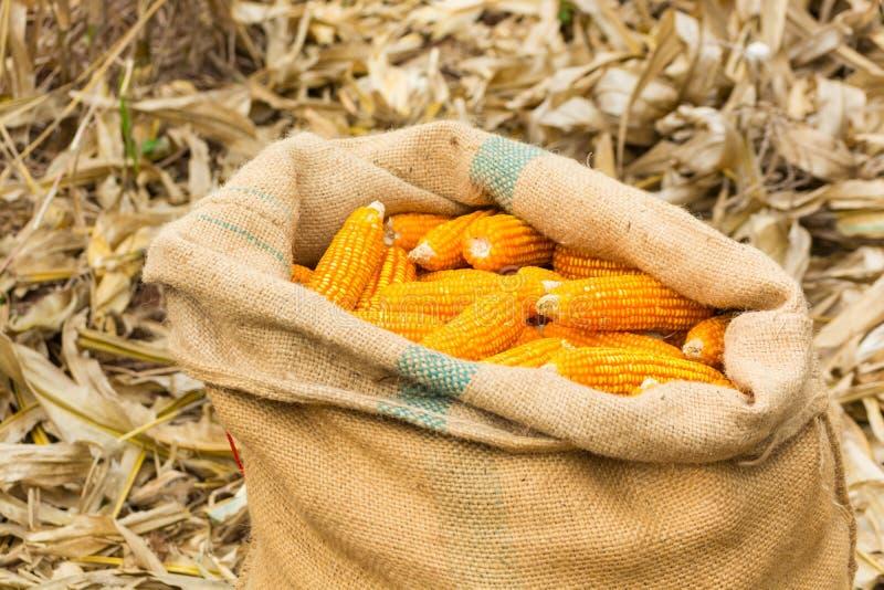 在粗麻布大袋的被收获的新鲜的未加工的玉米棒子 免版税库存照片