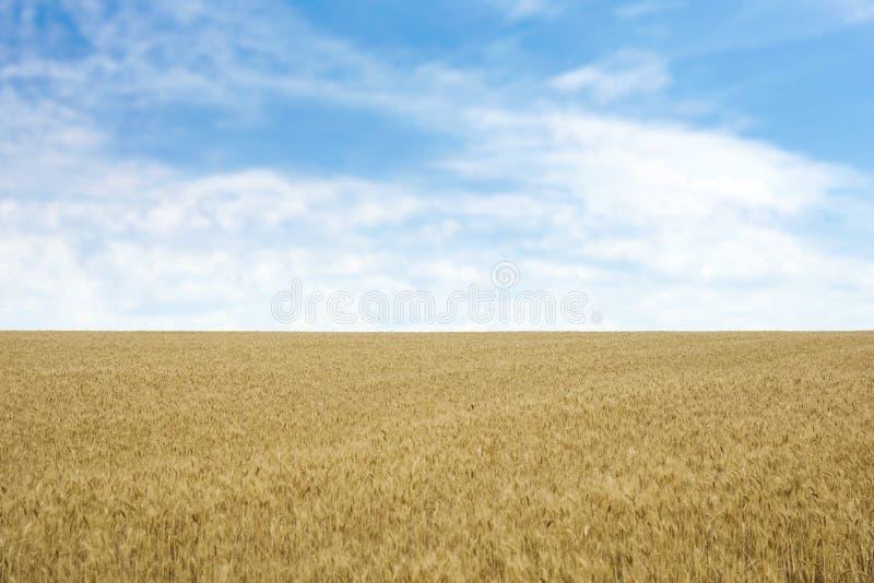 在粮田的金黄麦子 免版税库存照片