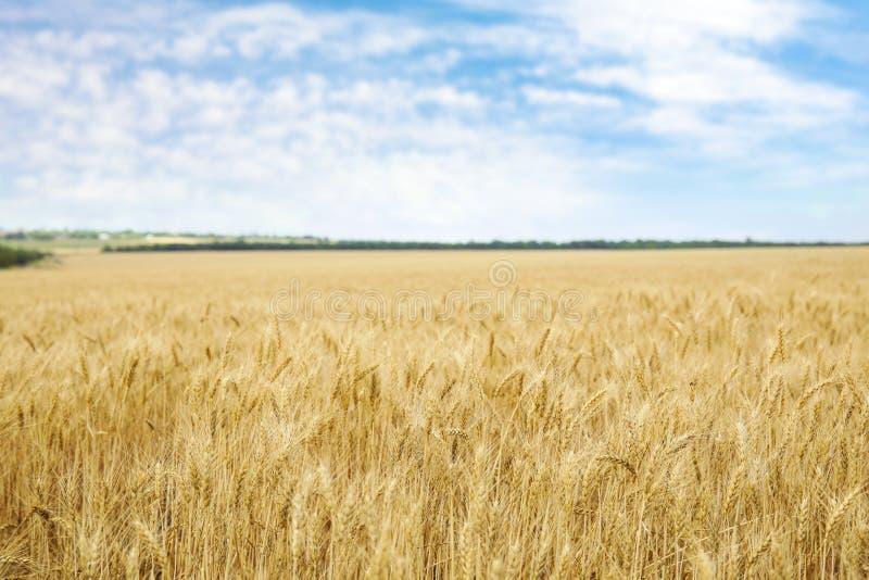 在粮田的金黄麦子 免版税库存图片