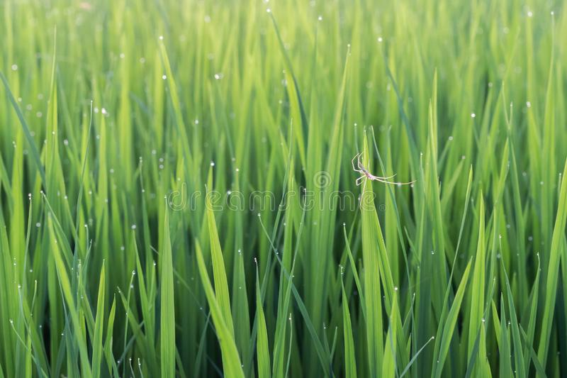 在粮食作物绿色叶子的蜘蛛  图库摄影