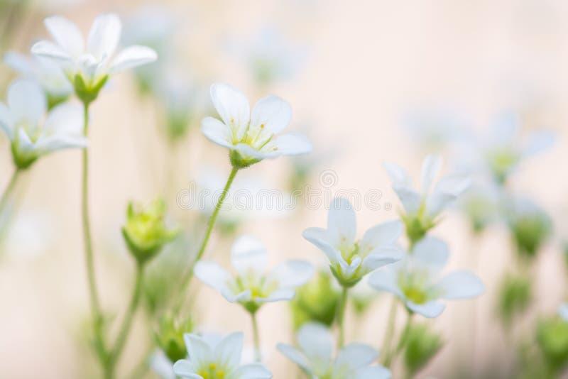 在精美桃红色背景的小白花 花saxifrage的艺术性的图象 免版税库存照片