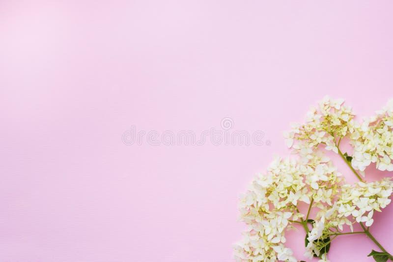 在精美桃红色背景的白色八仙花属花与拷贝空间 免版税图库摄影