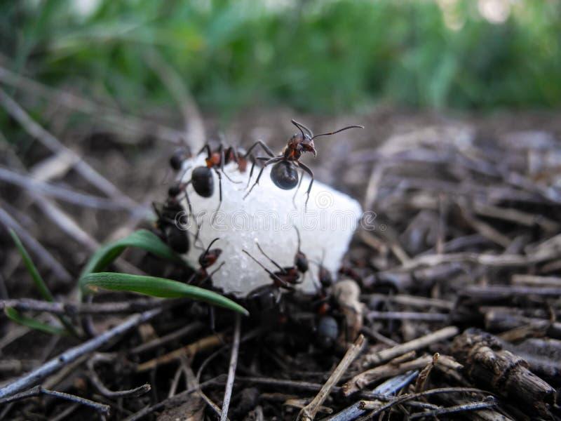 在糖宏指令片断的蚂蚁  大下落绿色叶子宏观摄影水 免版税图库摄影