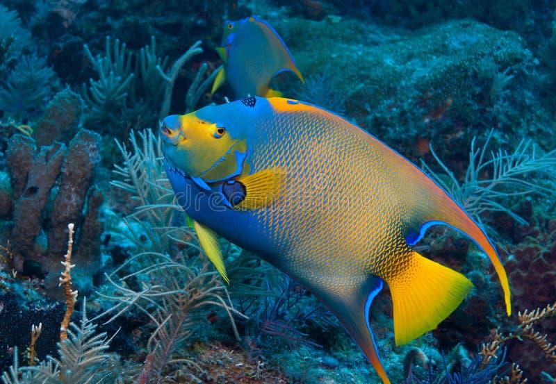 在糖浆礁石,基拉戈,佛罗里达群岛的女王神仙鱼 库存图片