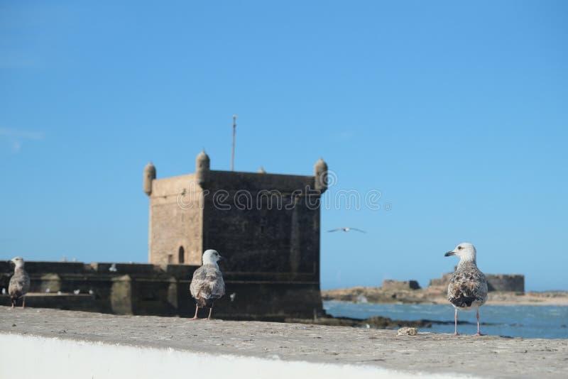 在索维拉城堡, Skala du port,摩洛哥的鸟 免版税库存照片
